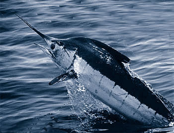 Atlantic blue marlin (Makaira nigricans) is also a large predatory and long-lived fish that bioaccumulates high concentrations of pollutants including heavy metals. Populations are in decline due to decades of intense fishing pressure. This year, Greenpeace International added this species to its seafood red list but it is not yet listed by the IUCN.