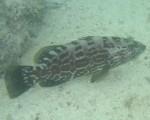 grouper_1.jpg